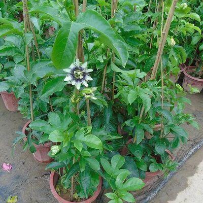 新品百香果苗鸡蛋果苗果树苗紫香台农黄金果四季可种盆栽庭院阳台