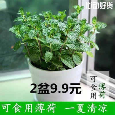 薄荷盆栽可食用驱蚊草室内盆栽水培植物花卉水养绿植薄荷花苗盆栽