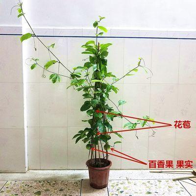 百香果苗百香果树苗黄金果苗满天星百香果盆栽爬藤植物