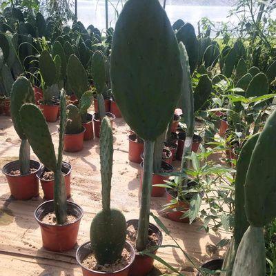 新鲜仙人掌绿色多肉植物盆栽可药用食用仙人掌米邦塔美容外敷内服【3月8日发完】