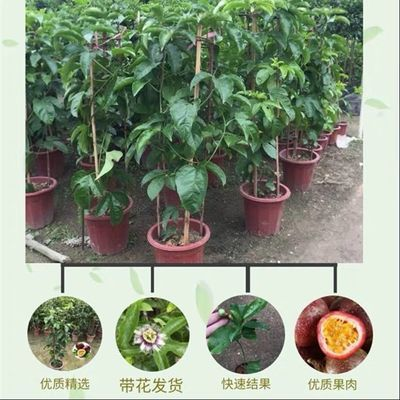 果树苗蓝莓树苗带果水果树苗南方百香果苗提子树苗鸡蛋果树苗人参