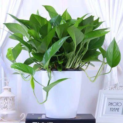 绿萝盆栽室内吸除甲醛净化空气植物花卉水养绿植吊兰长藤垂吊绿箩