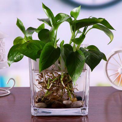 简约水培玻璃器皿透明方缸绿萝睡莲铜钱草水培花盆玻璃花瓶