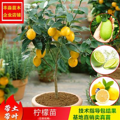 四季香水柠檬苗树苗绿植盆栽室内阳台庭院植物花卉水果树