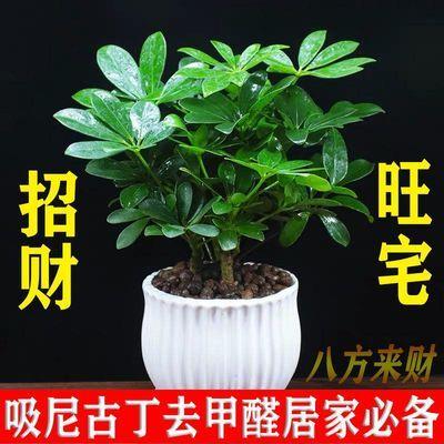 室内绿植盆栽鲜花植物四季常青好养鸭脚木盆栽盆景花卉开花植物