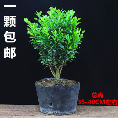 黄杨盆景耐寒办公室内盆栽四季常青好养客厅花卉庭院树苗桌面绿植