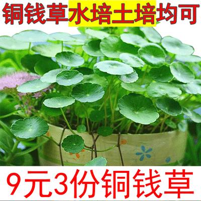 铜钱草室内水培植物盆栽花卉绿植套餐盆景防辐射绿萝吊兰净化空气