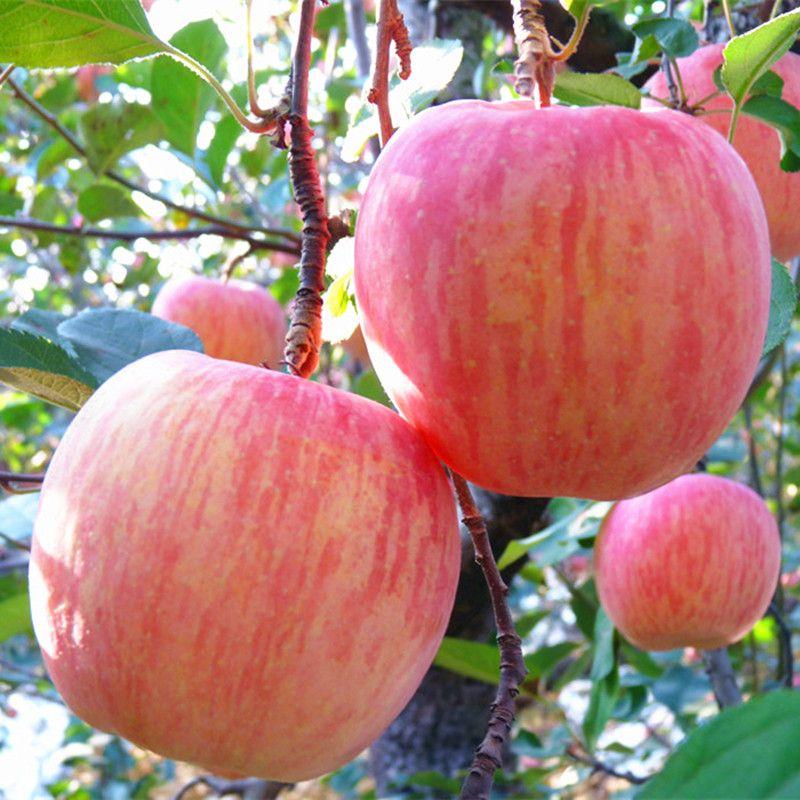 10斤装新鲜水果红富士苹果脆苹果