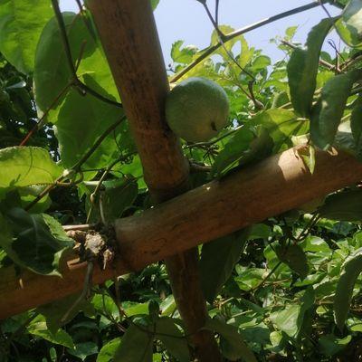 自家产地百香果,自然熟果。无催熟剂!放心绿色食品!