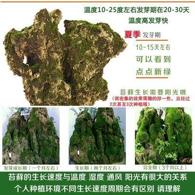 苔藓植物种子吸水石假山上水石盆景装饰四季鲜活包邮野生青苔孢子
