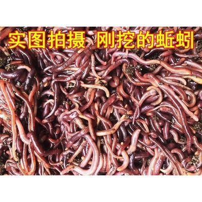 散装红蚯蚓活体太平二号红蚯蚓种苗斤装垂钓鱼饵蚯蚓龟饲料