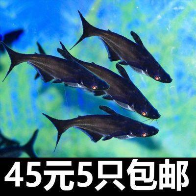 【活体】虎鲨成吉思汗鲨鱼蓝鲨鱼观赏鱼淡水热带凶猛清道夫白化活