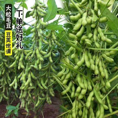 菜毛豆种子早熟高产鲜食豆 非转基因青黄豆黄豆种籽 抗病四季蔬菜