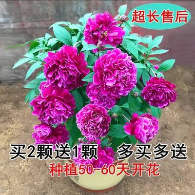 牡丹花苗洛阳正宗牡丹王室外庭院盆栽地栽花卉耐寒植物四季开花