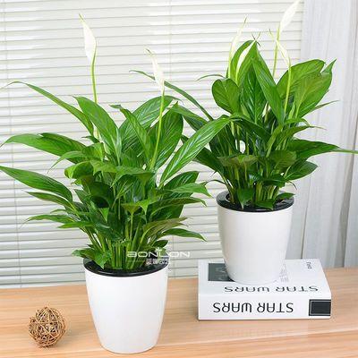 花卉盆栽白掌水培植物一帆风顺红掌室内盆景办公室盆栽绿植幸福树