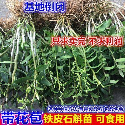铁皮石斛苗盆栽花卉绿植石斛枫斗种苗可食用吊兰大苗