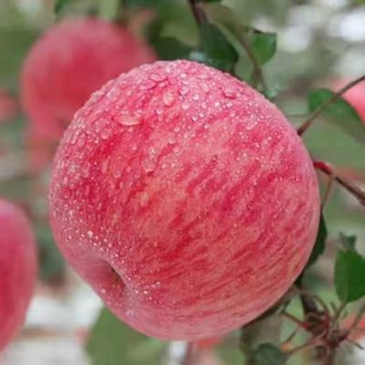 新鲜苹果甘肃天水红富士苹果10带箱斤一级冰糖心新鲜当季整箱装