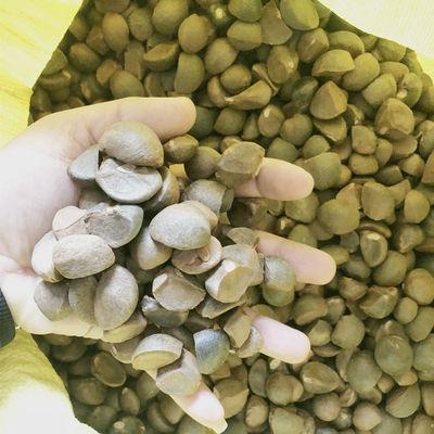 油茶子茶籽榨油油茶种子茶籽仁油茶果子志强农林开发有限公司