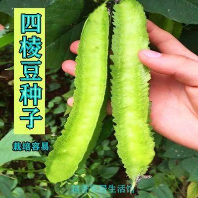豆类种子好吃又好玩四棱豆紫金架豆彩虹豆看豆太极豆荷包豆蔬菜籽