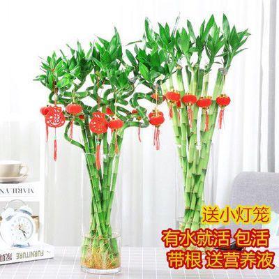 转运竹水培植物富贵竹绿植开运竹室内盆栽花卉水养吸甲醛花瓶植物