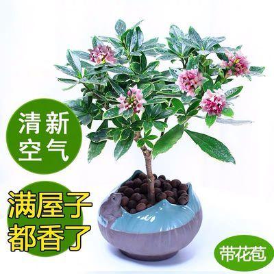 金边瑞香绿植盆栽耐寒花卉带花苞浓香冬季开花年宵花苗四季常青