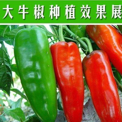 【大牛角椒种子】辣椒种籽南方种植特大牛角种子四季播阳台蔬菜种【2月29日发完】