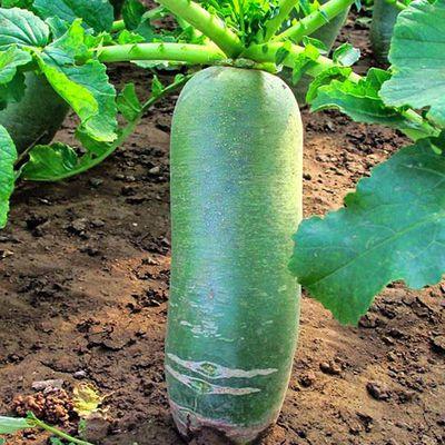 沙窝水果萝卜种子生吃脆甜农家蔬菜种孑四季播种阳盆栽绿萝卜种籽