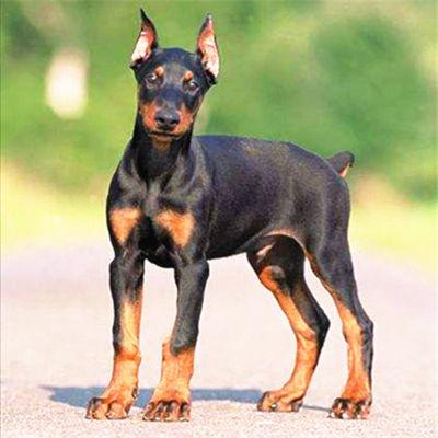出售精品杜宾犬幼犬活体迷你杜宾纯种大型杜宾幼崽德系护卫犬杜宾