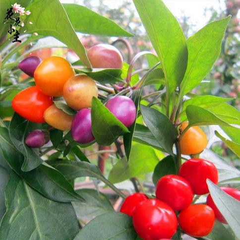 室内阳台七彩椒种子盆栽五彩小辣椒花卉种籽