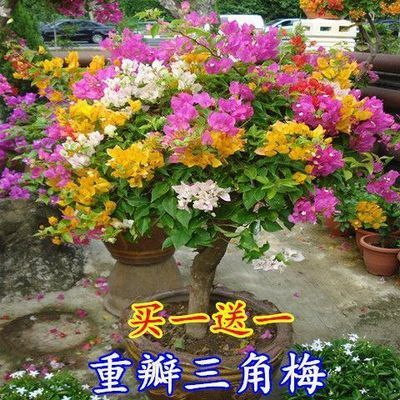 买一棵送二棵重瓣花叶三角梅盆栽花苗绿植四季种植爬藤攀援花植物