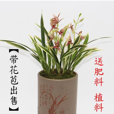 【现带花苞出售】浓香型 金边矮种春兰建兰兰花花卉绿植兰花苗