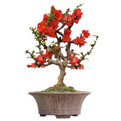 海棠花苗盆栽花卉室内多肉植物四季水培绿植好养玫瑰花苗盆景树桩