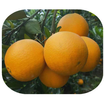 包邮金堂脐橙子孕妇儿童零食应季新鲜水果10斤多规格非耙耙柑丑橘