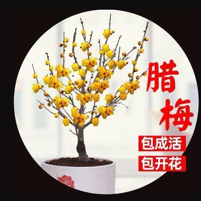 老桩腊梅梅花盆栽素心腊梅花树苗耐寒冬季植物室内花卉庭院带花苞