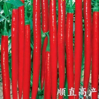 特征特性:  中早熟绿色长果线椒的革命性品种。果特长30-40厘米,长的可达44厘米,粗1.8-2.2厘米,采收期长,后期果不易变短,春季栽培从5月份开始采摘, 一直结果到霜降,后期果仍然能达到30厘米以上,具有很强的抗病性、易种植,品质好,红果鲜艳,辣味适中,用途广,可鲜食、加工、制酱、做剁椒等,是目前 温室大棚、露地栽培的优良品种