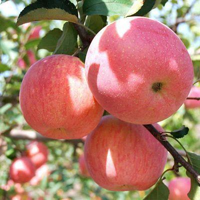 苹果水果陕西红富士应季现摘脆甜大果苹果带箱10斤包邮【亏本冲量