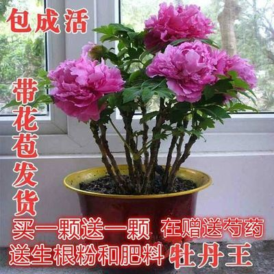 【带花苞发货】买一送一菏泽牡丹花苗带花苞牡丹苗【在赠送芍药】