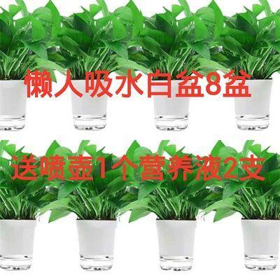 绿萝盆栽花卉绿植长藤垂吊植物室内吸甲醛客厅大叶可水土培大绿萝