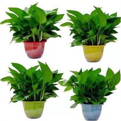 绿萝盆栽室内吊兰除除甲醛净化空气水培植物长藤大叶绿箩绿植批发
