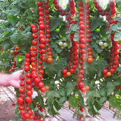 瀑布:F1代,无限生长型 串收番茄品种 圆球形,单果25克 味甜,品质的植物长势健壮,苗期亦是如此 优点:*植株非常健壮,耐热性好 *整串采摘与漂亮的红色水果的颜色。 *果型好,正圆球。 *良好的抗开裂性