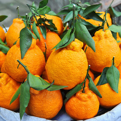 【脆甜多汁】四川丑橘不知火丑柑丑八怪新鲜水果橘子桔子2/5/10斤