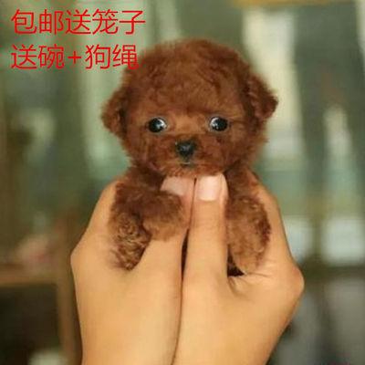 泰迪狗中华田园犬活体金毛拉拉柯基茶杯幼犬串串混血包活宠物犬