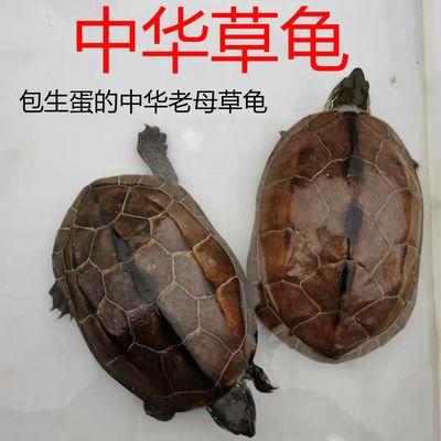 中华草龟乌龟老草龟甲鱼煲汤龟外塘龟生蛋草龟长寿龟金线龟宠物龟