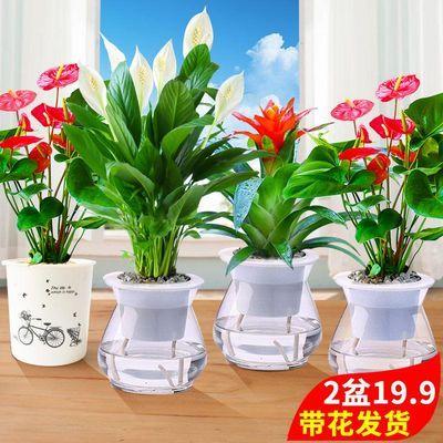 白掌盆栽红掌植物一帆风顺室内水培观花免浇水养四季常青绿植花卉