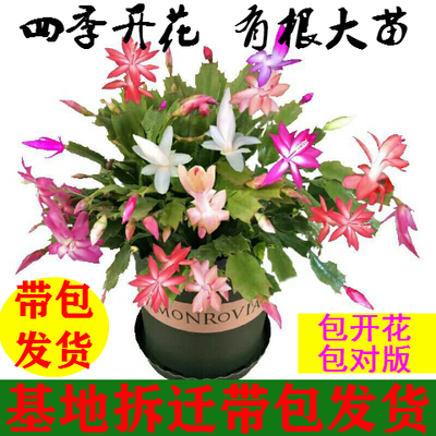 四季开花蟹爪兰花苗盆栽带花苞大苗冬季花卉室内植物兰花苗君子兰