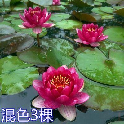水生植物小型睡莲种根观赏大型睡莲种藕种苗莲藕池塘庭院盆栽莲花