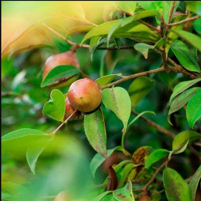 茶油树种植管理技术油茶树修剪病虫害教材技术7套 32GU盘可试看