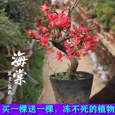 日本海棠花苗盆栽四季盆景大苗室内绿植物花卉观花庭院阳台玫瑰。