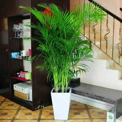 散尾葵凤尾竹盆栽室内客厅吸甲醛植物四季长青净化空气大型绿植。