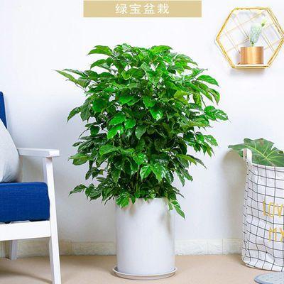绿宝盆栽幸福树家居室内办公室大型常绿植物清新空气除甲醛绿植